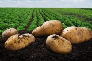 potato crops organic compost and fertilizer for agriculture