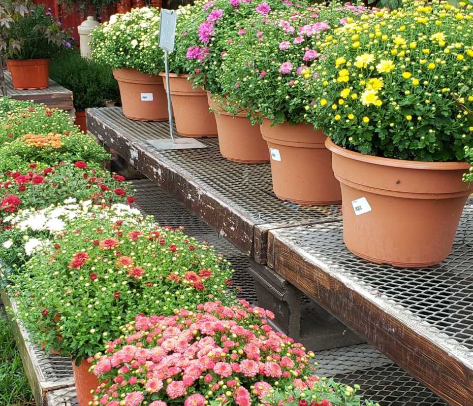 Tips for planting mums get beautiful blooms in late summer early mums are hardy perennials that bloom in late summer or early fall by adding a few or more of these plants to your landscaping youll keep bright colors izmirmasajfo