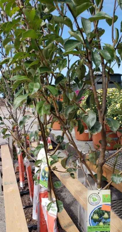 Pear and Apple Trees Ready to be Planted!
